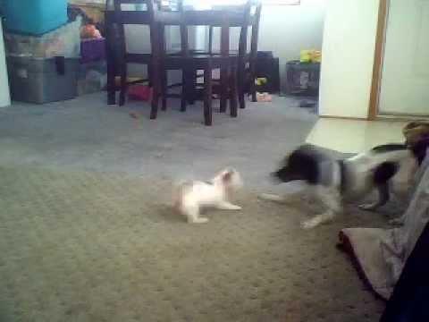 chihuahua/Miniature pincher & chihuahua/dotson playing