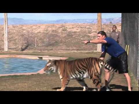 Jugando con los tigres en el Agua
