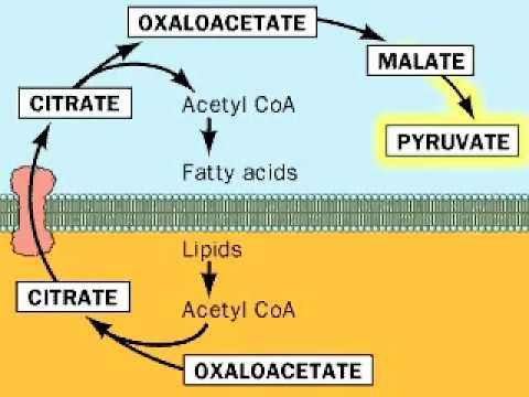 Biosynthesis of Fatty acids  (from Acetyl CoA)