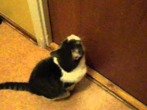 Cat Meowing At Closed Door