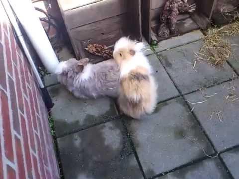 konijnen koppeling de tweede keer samen