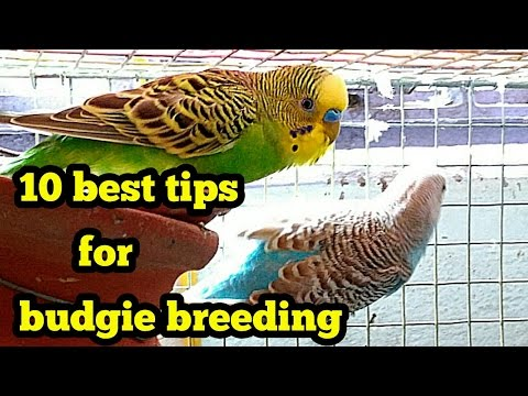 Budgie Breeding - Best 10 Tips( In Hindi/Urdu And English)