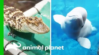 Puffin Nesting Season, Training Baby Alligators, And More! | The Aquarium | Compilation by Animal Planet