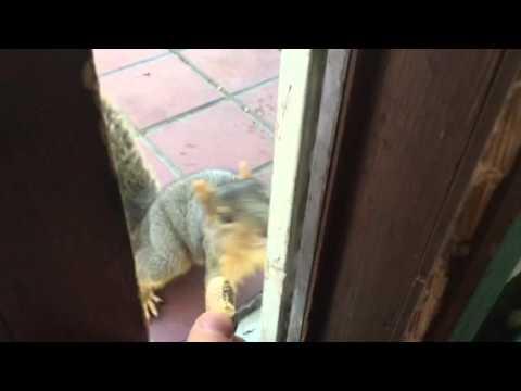 這隻小松鼠來要花生吃,態度竟然超有禮貌,讓人忍不住每天都備妥花生等牠來!