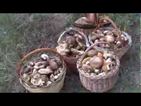 raccolta porcini sorprendente, da guinness