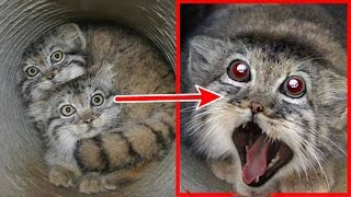 Video Petani ini terkejut,! anak kucing yg ia temukan, ternyata setelah dewasa bentuknya seperti ini MP3, 3GP, MP4, WEBM, AVI, FLV April 2017
