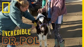 A Wheezing Calf | The Incredible Dr. Pol by Nat Geo WILD