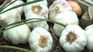 Garlic Softneck vs Hardneck