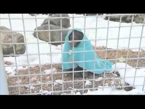 Soğuktan Üşüyen Şempanze Battaniyesine Sarılıp Çayını Yudumluyor