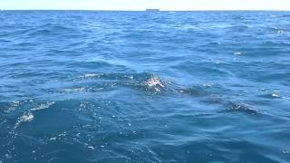 Rottnest Island Australia  City new picture : Great White Shark Rottnest Island Perth Australia