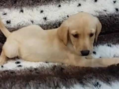 So cute and Sweet Labrador Puppy!