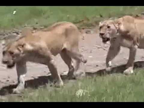 OROSZLÁNOK KÖZÖTT , TANZANIA, NGORONGORO NEMZETI PARK