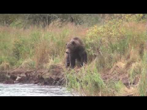 Alaska Grizzly Bears of Katmai