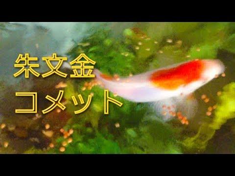 【金魚】朱文金とコメット日課の朝のエサやり!今朝も元気!