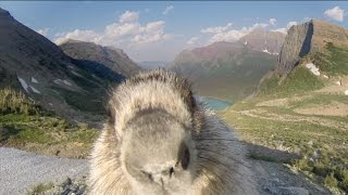 Marmot licks GoPro - YouTube