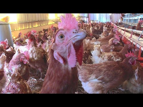 Gnadenhof für Hühner in Frankreich - Leben bis zum na ...