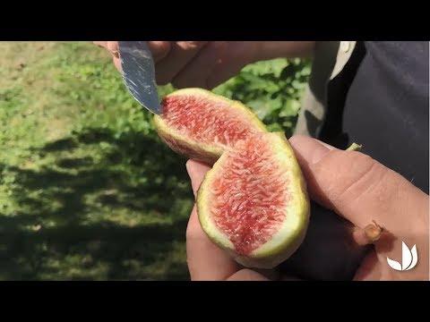 Figues : culture et variétés - Jardinerie Truffaut TV