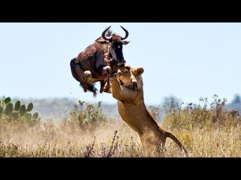 Live: The Best Attacks Of Wild Animals 2017 - Craziest Animal Fights Caught On Camera #4