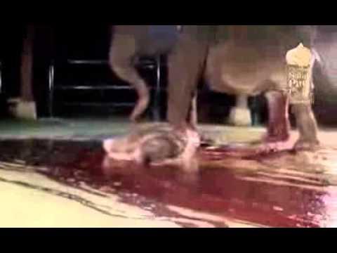 Vidéo insolite de la naissance d'un éléphanteau à Bali ( Indonesie)