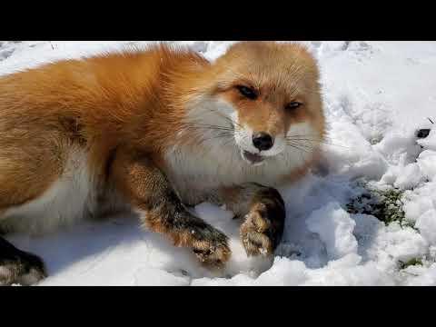 Dixie LOVES Finnegan Fox
