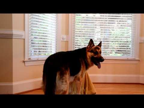 全世界公認超級聰明的德國牧羊犬看到自己多年的同伴被囚禁,牠忍不住出手了…