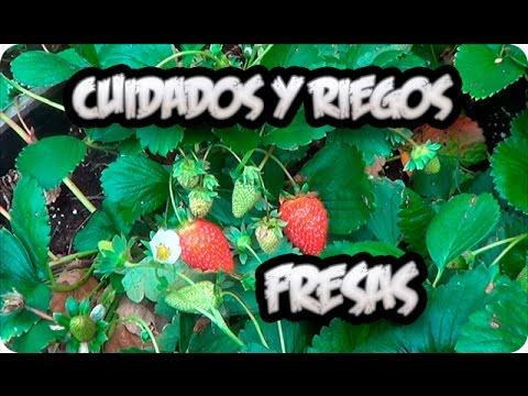 Cultivo De la Fresa : Cuidados Y Como Regar Las Fresas O Frutillas    La Huertina De Toni