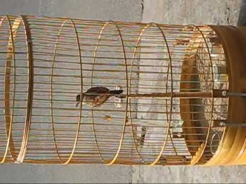 chim son ca 2