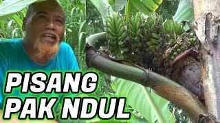 Video Pak Ndul - PISANG ANTIK PAK NDUL MP3, 3GP, MP4, WEBM, AVI, FLV Mei 2019
