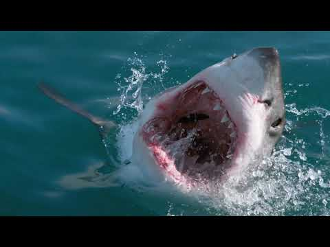 RISE OF THE GREAT WHITE SHARK - ANDY BRANDY CASAGRANDE IV - ABC4EXPLORE