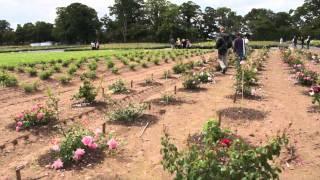 #494 David Austin Roses 2011 - Die Selektionsfelder 2v2