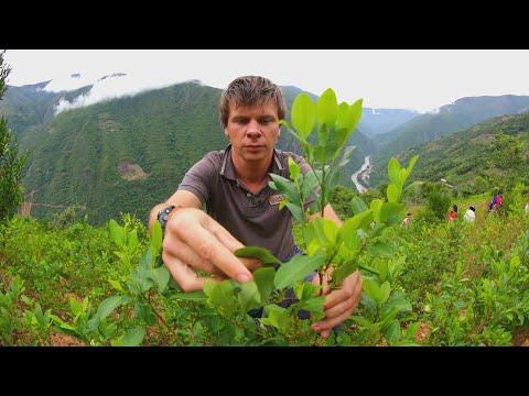 Наркотические листья в свободной продаже, рекомендации коренного населения Боливии по употреблению коки,...