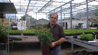 #94 Die Rose Rose de Resht