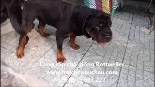 Rottweiler đực nhà tự phối giống không cần đỡ phụ