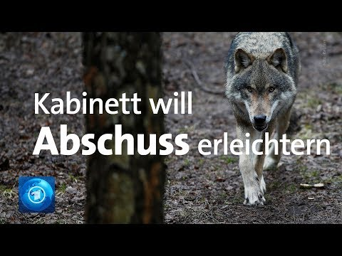 Wölfe: Bundesregierung will Abschuss von Wölfen erlei ...