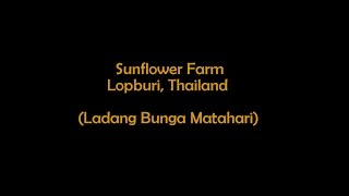 Lopburi Thailand  City new picture : Sunflower Farm, Lopburi, Thailand