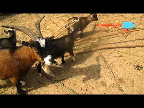 Kozy kamerunské v zoo Jihlava