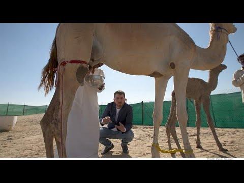Ντουμπάι: Το πρώτο εργοστάσιο σοκολάτας από γάλα καμήλας…