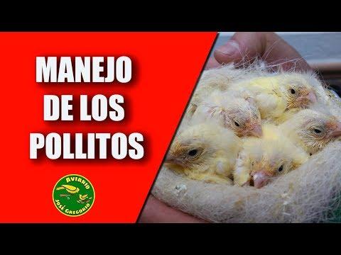 Cría Canarios (Manejo de los pollos)