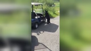 Just When You Thought Golf Was Boring, This Curious Cub Finds and Chugs a Beer