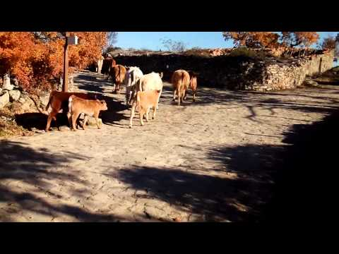 Vacas en Saldeana (Salamanca), 06-12-2015