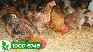 Chăn nuôi gà | Phân biệt bệnh cầu trùng ruột non và viêm ruột hoại tử ở gà