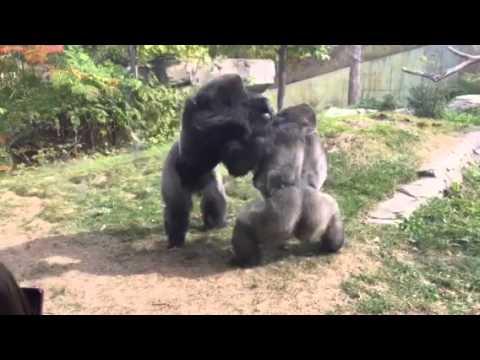 正當遊客們平靜地觀賞著動物園裡的大猩猩時,誰也沒想到下一秒的畫面會讓現場驚叫聲不停!