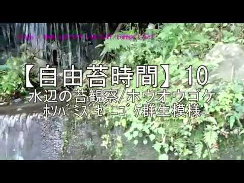 【自由苔時間】10/水辺の苔観察/ホウオウゴケホソバミズゼニゴケ群生模様