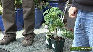 #215 Breeding program for new raspberry varieties at Lubera