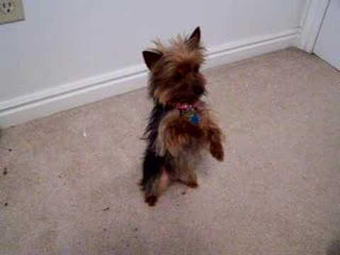 yorkshire terrier gioca a fare l'acrobata!