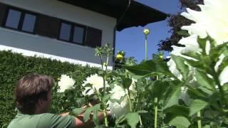 #854 Dahliensorten - Hapet Weisser Riese