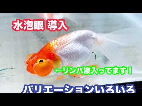 動画で金魚『水泡眼導入…バリエーションいろいろ…なにげに初めて飼育します!』H30.2.5 Goldfish movie from Japan