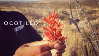 Today we take a look at a beautiful deseert plant, the ocotillo(Fouquieria splendens), and discuss its ability to make a calming tea from its bright red flowers. This tea is said to help alleviate a harsh plemhy cough, as well as aching joints and sore muscles. Other medicinal prperties are discussed though cannot say for sure if they are indeed medicinal or just folklore. Junkyard Fox Instagram:https://www.instagram.com/junkyard_fox/?hl=enCuervo Negro's Bandcamp link:https://cuervonegro1.bandcamp.com/album/the-first-year   filmed in the El Paso, Texas/Cloudcroft, New Mexico area, Chihuahuan Desert. Survival, Self-Reliance, Bushcraft, Camping, Making Fire, James Harris. Original music by Cuervo Negro. Junkyard Fox