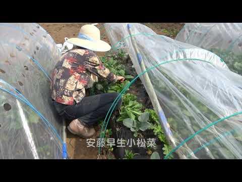ファミリー農園190407菜っ葉収穫・インゲン種まき