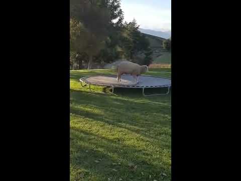 Tämä lammas rakastaa hypellä trampoliinilla